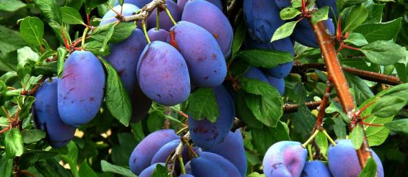 where to buy prunes| Cheap at market level